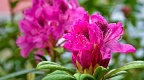 Cluster of hot pink rhododendron flowers