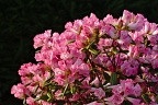 Pink rhododendron bush in full flower