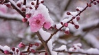 Pink cherry blossoms with snow