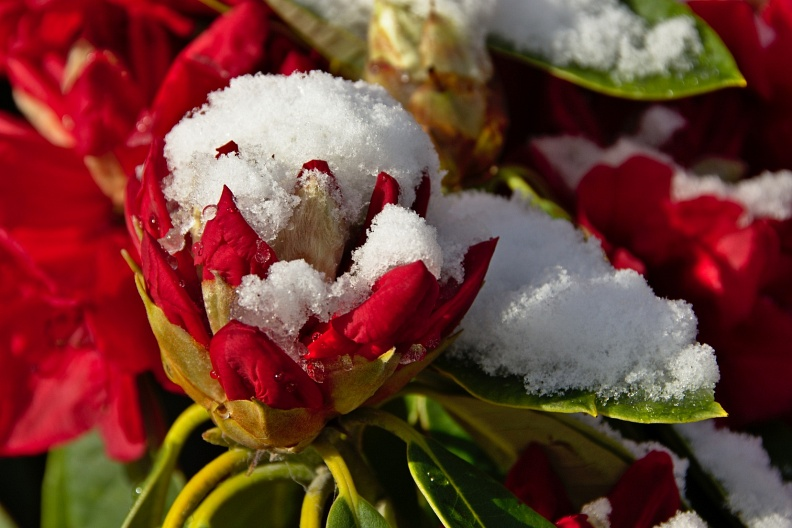 Red rhododendron blossoms with snow