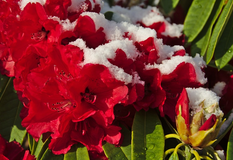 Bright red rhododendron flowers with snow
