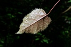 Leaf with jagged edge