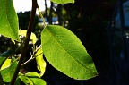 Pear tree leave backlit