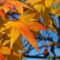 Yellow and orange maple leaves