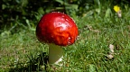Round red toadstool