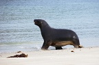 Sea-lion walking on the beach