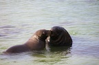 Two sea-lions playing