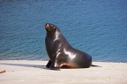 Side view of sea-lion on the beach
