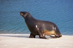 Side view of sea-lion walking