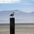 Sea-gull on top of a wooden pole
