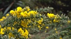 Infestation of gorse