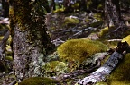 Mosses in beech forest