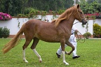 Young Peruvian Paso horse