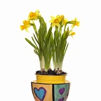 Yellow daffodils in flowerpot