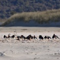 Dozens of South Island oystercatchers on the beach