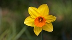 Yellow daffodil flower with orange centre