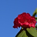 Red rhododendron flowers and blue sky