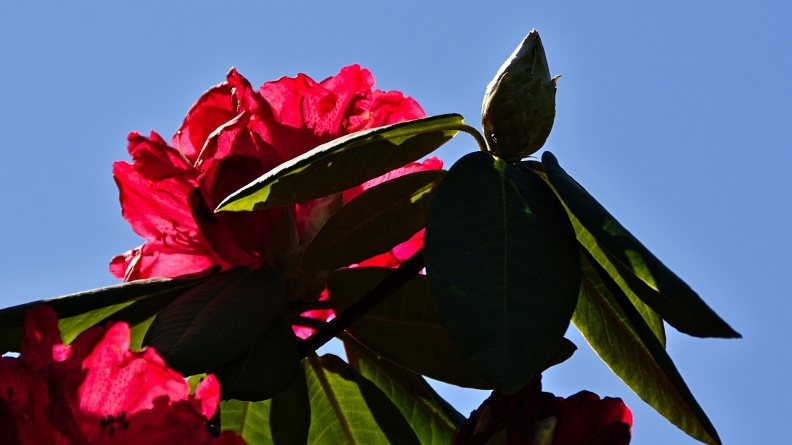 Backlit red rhododendron flowers and blue sky