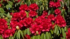Abundance of red rhododendron flowers