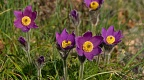 Deep purple Pulsatilla flowers