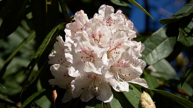 Bunch of white rhododendron flowers