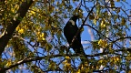 Silhouette of tui bird on kōwhai tree