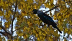 Tui bird singing on kōwhai tree