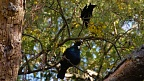 Two tui birds on kōwhai tree