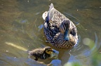Pacific black duck and duckling in a pond