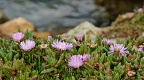 New Zealand ice plant with pink flowers