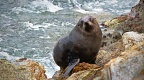 New Zealand Fur Seal climbing rocky shore