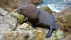 New Zealand Fur Seal resting during a climb