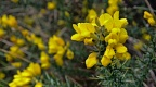 Gorse on Green Hill