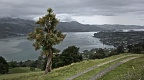 Cabbage tree on Otago Peninsula on a grey day