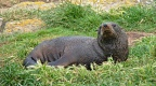 Young male New Zealand Fur Seal in green grass