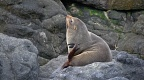 New Zealand Fur Seal scratching