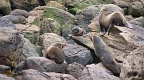 New Zealand Fur Seal colony with a puppy