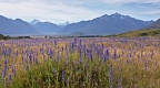 Field of viper's bugloss near Mount Sunday (Edoras)