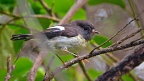 Tomtit in mānuka and broadleaf bush