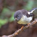 Tomtit perched on manuka branch