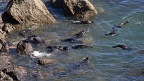 New Zealand Fur Seal nursery swimming
