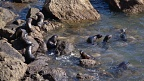 New Zealand Fur Seal nursery on the rocks