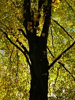 Backlit lime tree in early Autumn