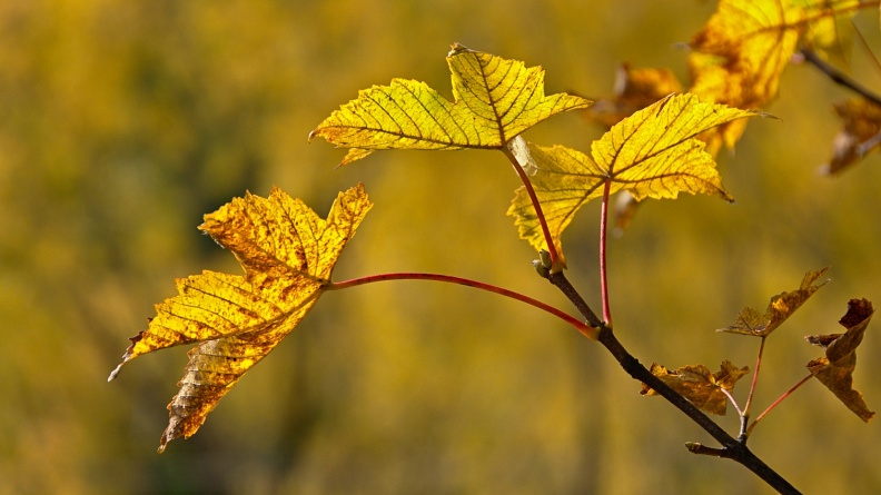 Yellow backlit maple leaves