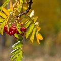Rowan red berries (mountain ash)