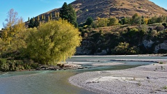 Willow tree and Shotover River meander by Ferry Hill