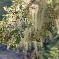 Old man's beard on beech tree