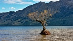 Small willow tree surrounded by waters of Lake Wakatipu