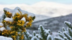 Flowering gorse with snow