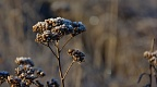 Frost-bitten yarrow plant